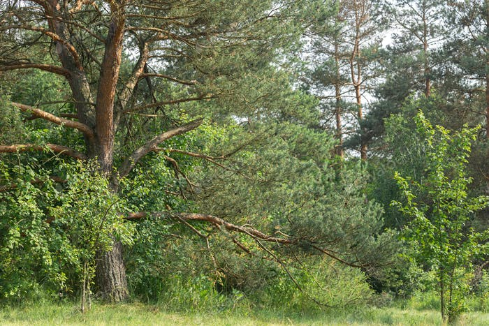 Trees in a coniferous forest in summer without people.