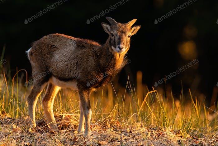 Muflón juvenil de pie en el campo en la hora dorada de otoño
