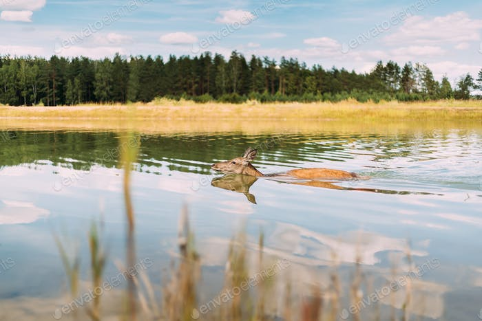 European Roe Deer Bathing In River
