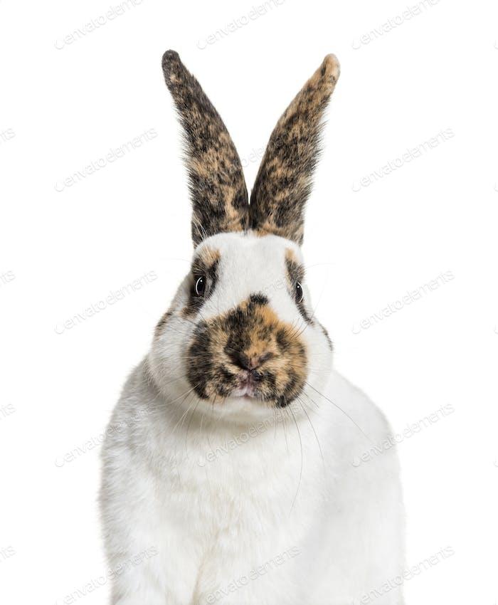 Checkered Giant rabbit against white background