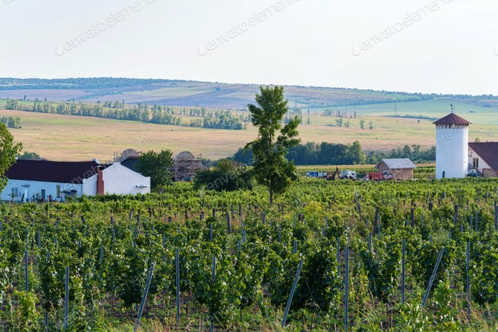 Beautiful vineyard on sunny day. Agricultural wine making concept