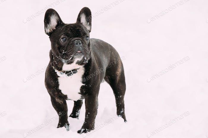 Black French Bulldog Dog Playing Outdoor In Snow At Winter Day