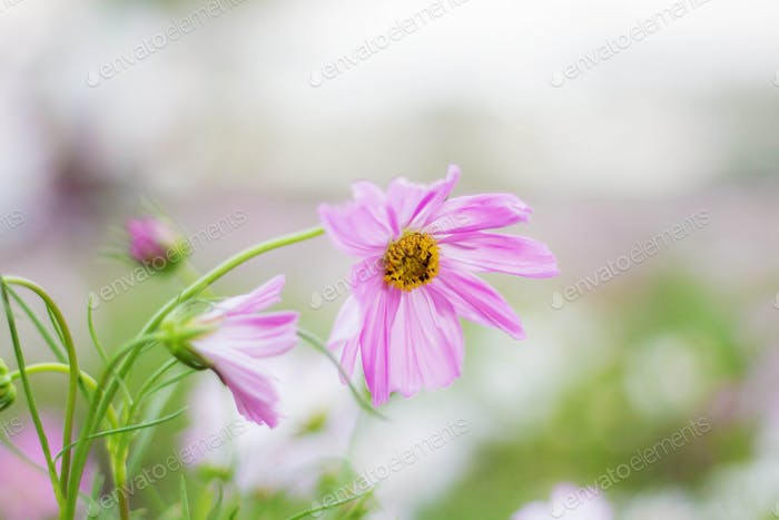 Pink cosmos with refreshing