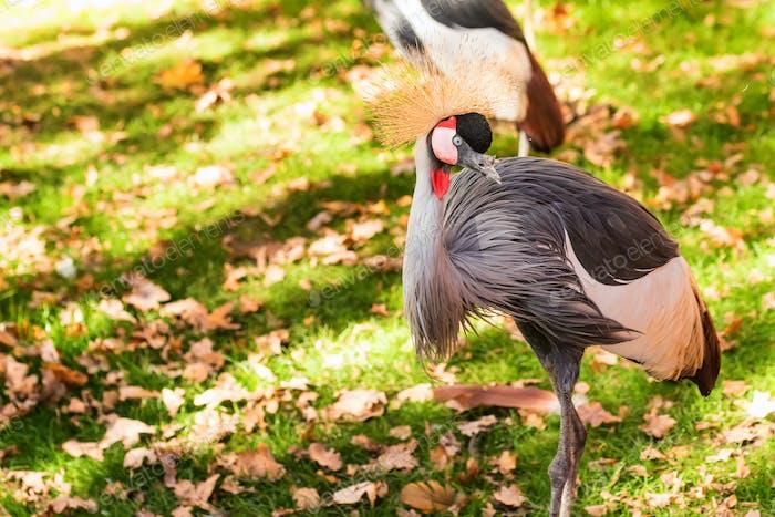 Grey Crowned Crane or Balearica pavonina in zoo