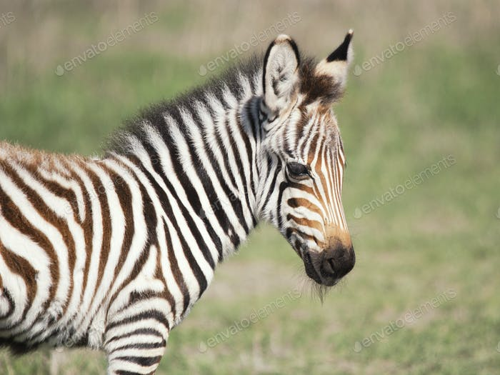 Zebra40