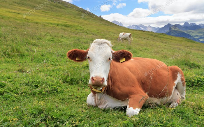 alpine pasture with cow