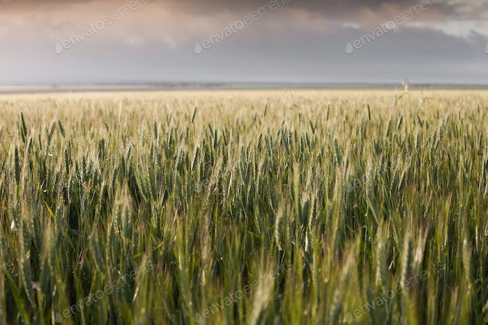 Wheat Belt