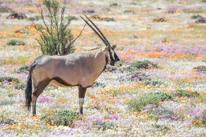 Oryx in flowers at Goegap