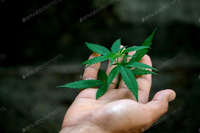 Hand holding marijuana leafs