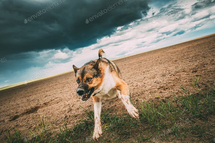 nervous dog Angry Aggressive Mad Dog Running On Camera