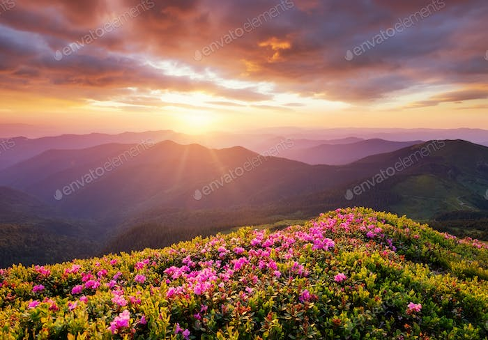 A blossoming field in the mountains. Summer landscape during the sunset.