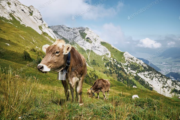 Cows with bell grazing against valley and mountains