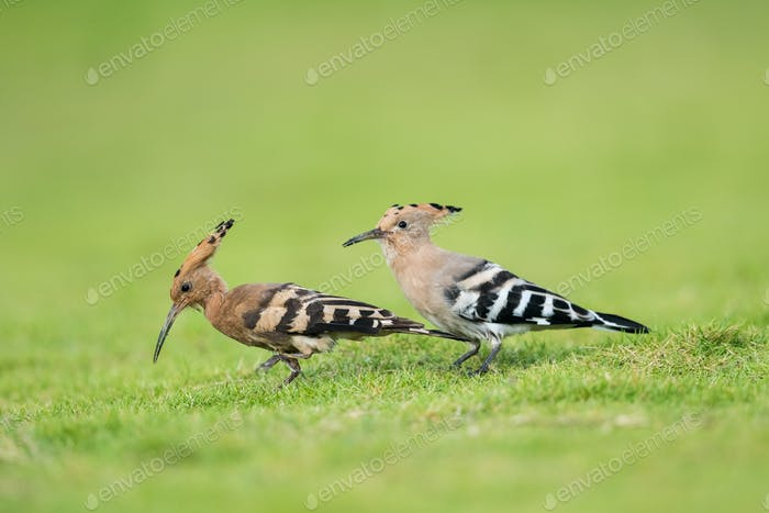 eurasian hoopoe closeup on green grass