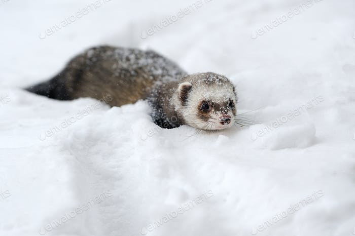 Wild ferret in snow