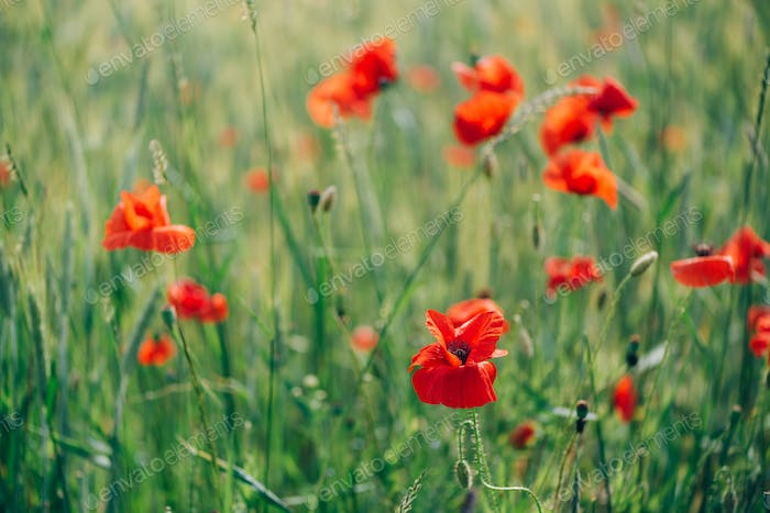 Field of bright red poppy flowers. Summer time. Background with copy space. Blooming poppies garden