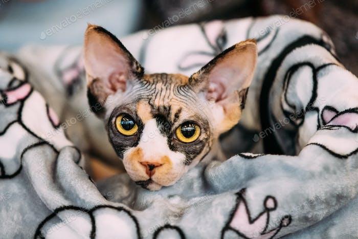 Hairess Sphynx Cat Kitten Snugly Wrapped In A Blanket