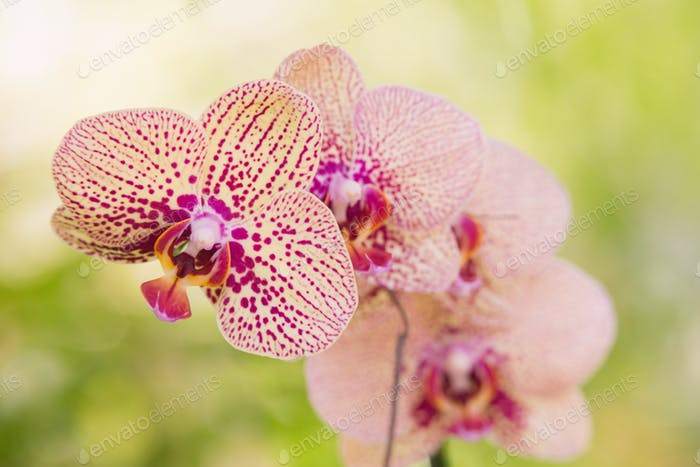 PInk orchid flowers focus on foreground