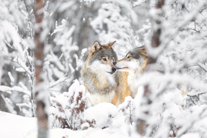 Two beautiful wolves in the forest a snowy cold day at winter
