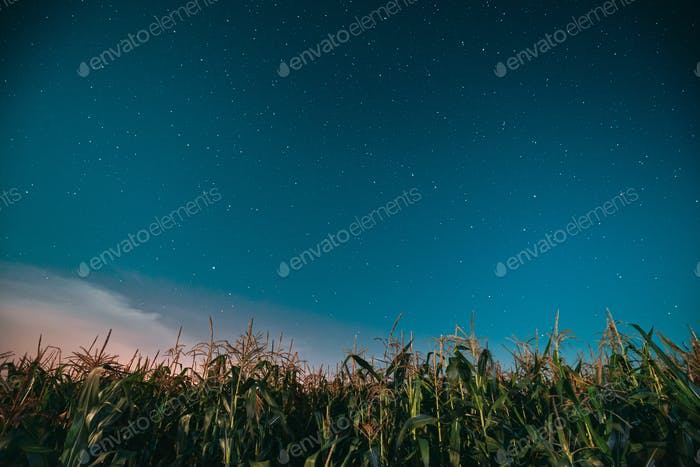 Night Starry Sky Above Green Maize Corn Field Plantation In Summ