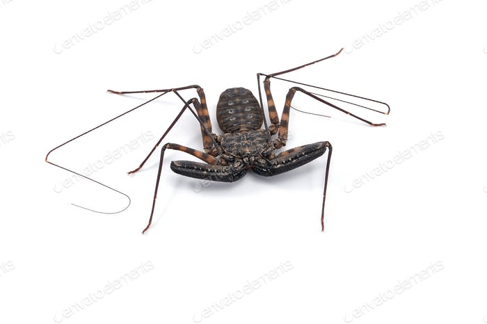 Tailless Whip scorpions isolated on white background