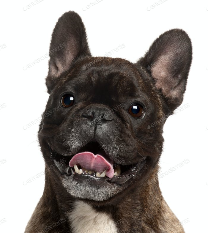 Close-up of French Bulldog panting, 5 years old, in front of white background