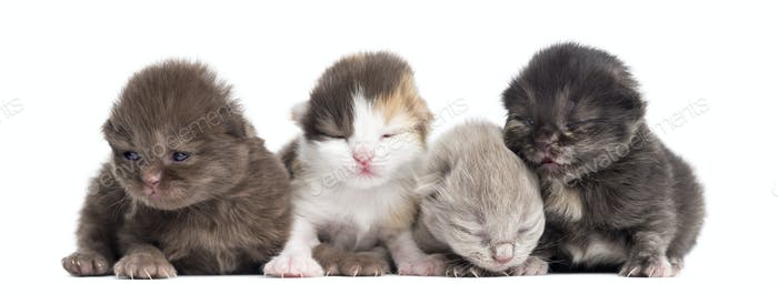 Highland straight or fold kittens in a row, 1 week old, isolated on white