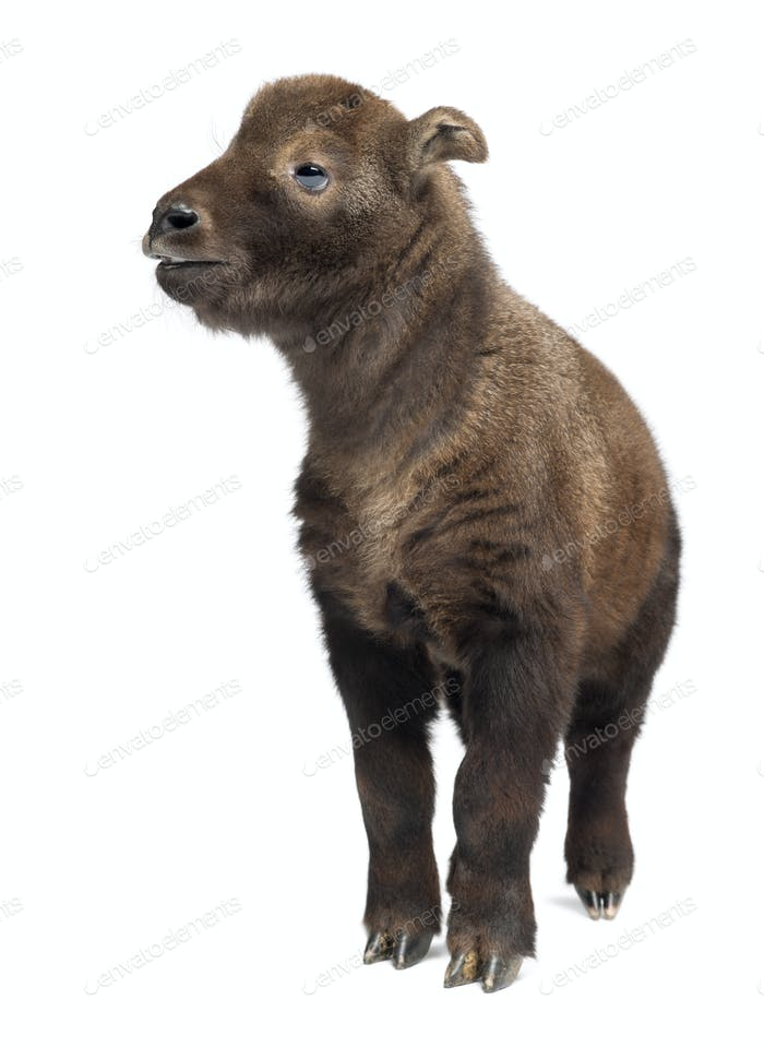 Mishmi Takin, Budorcas taxicolor taxicol, also called Cattle Chamois or Gnu Goat, 15 days old