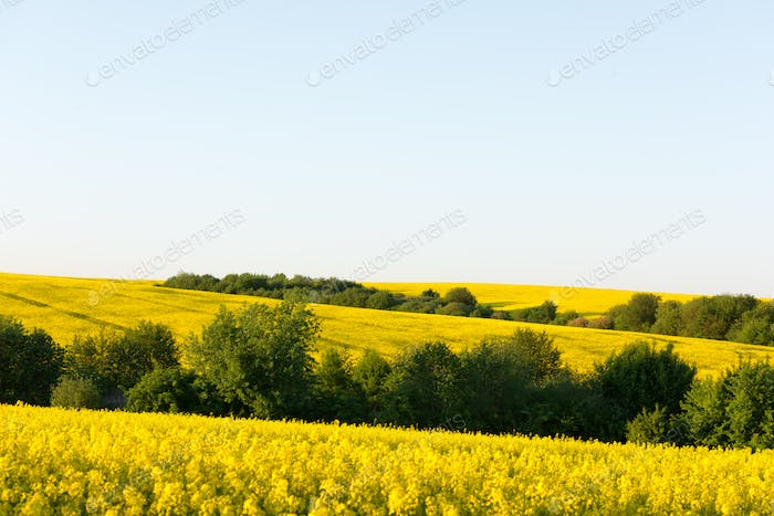 Yellow rape field on blue sky background