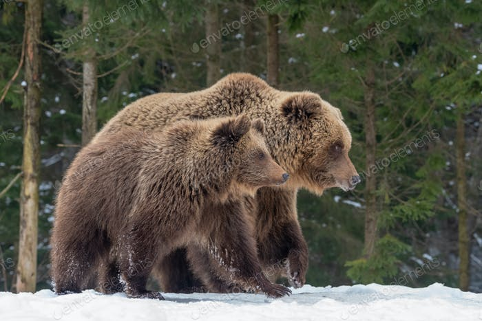 Bären Familie geht durch den Wald