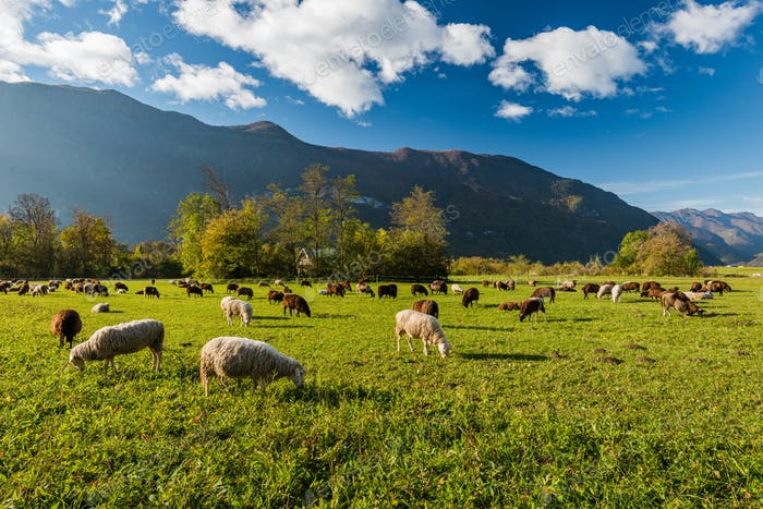 Sheep grazing on green pasture in mountains