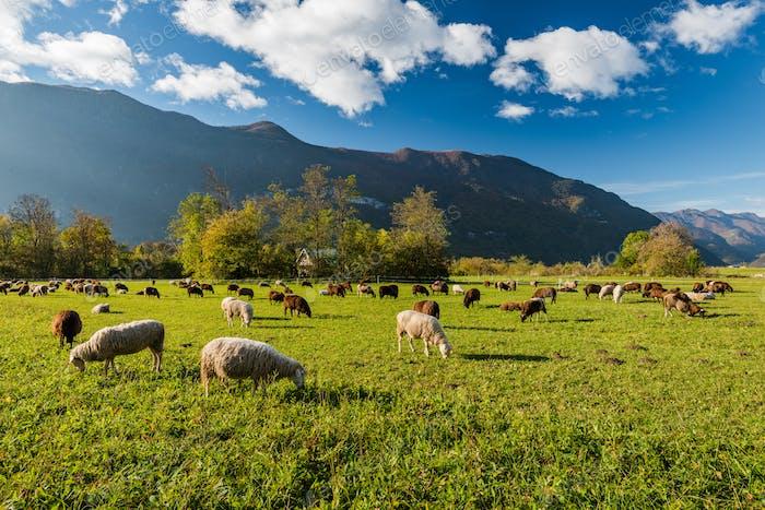 Schafe grasen auf grüner Weide in Bergen