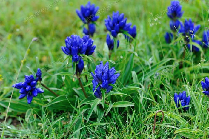 Blue flowers blooming on high altitude grassland in China