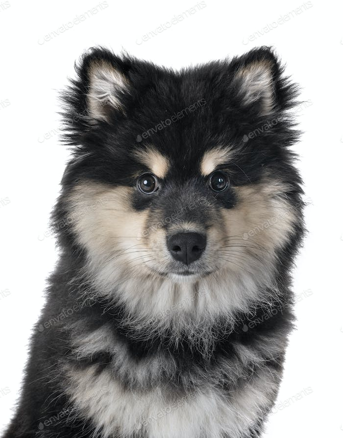 Puppy Finnish Lapphund Photo By Cynoclub On Envato Elements