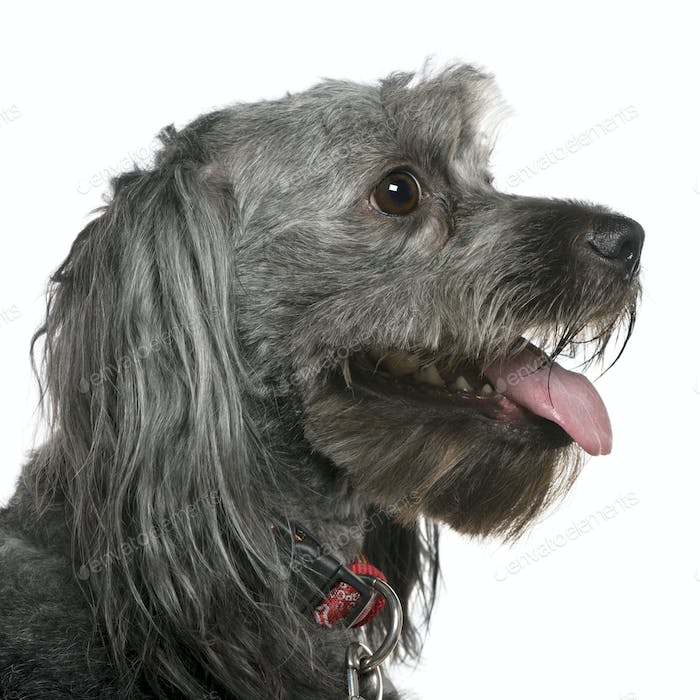 Close-up of Tibetan terrier, 3 years old, in front of white background