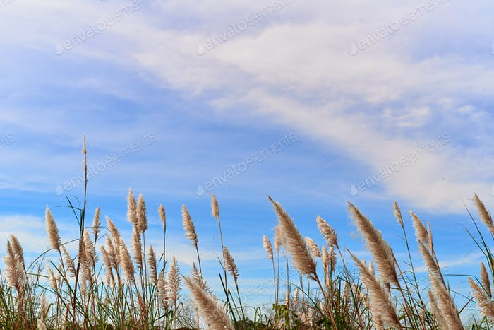 Furry reed flower swaying in the wind