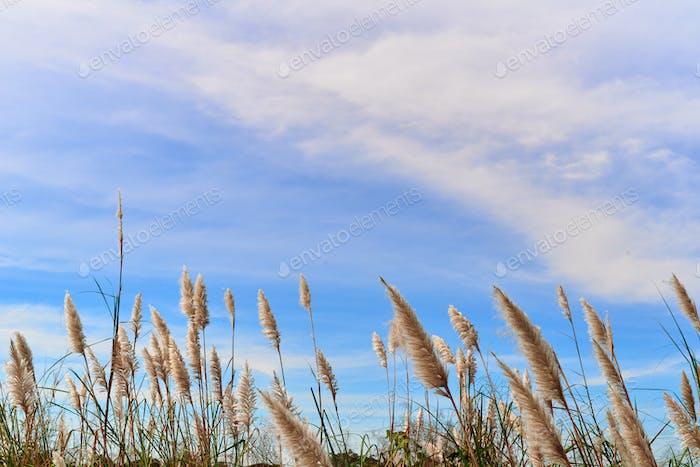 Pelzige Schilfblume wiegt sich im Wind
