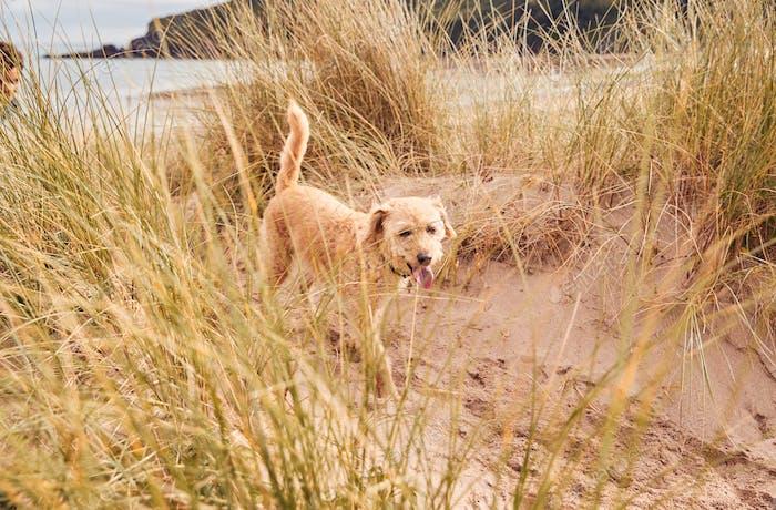 Pet Dog Exploring Sand Dunes On Winter Beach Vacation