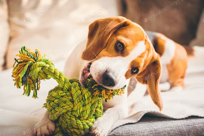 Dog with rope toy on sofa. Excited about biting a toy