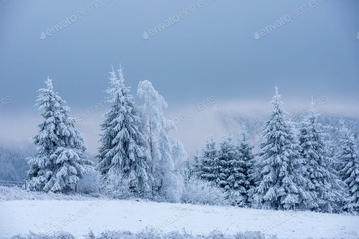Fir trees covered with snow and hoarfrost in the mountains