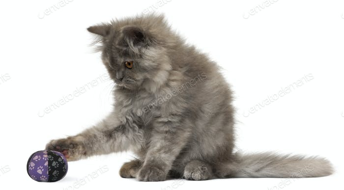 Persian kitten, 3 months old, playing with a ball in front of white background