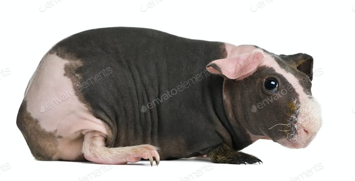 Hairless Guinea Pig standing against white background