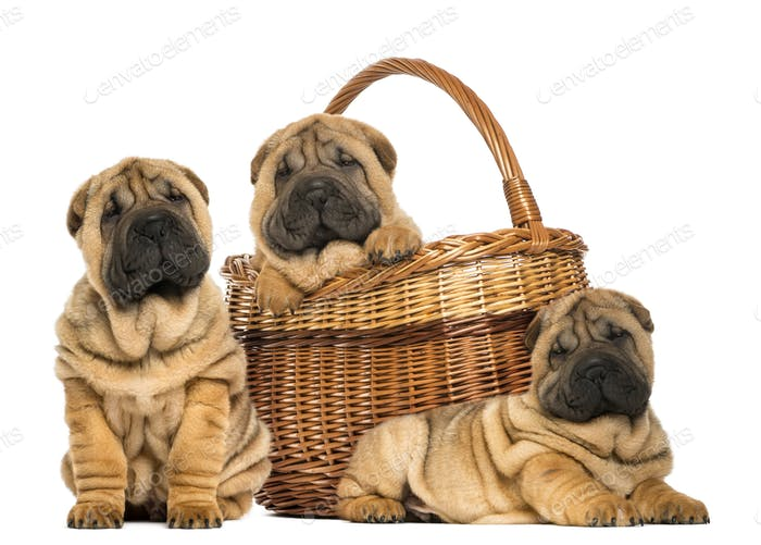 Three Sharpei puppies , sitting, lying and put in a wicker basket, isolated on white