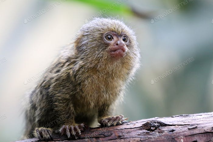 Young pygmee monkey
