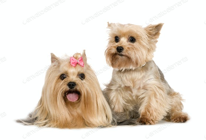 Couple of Yorkshire Terrier