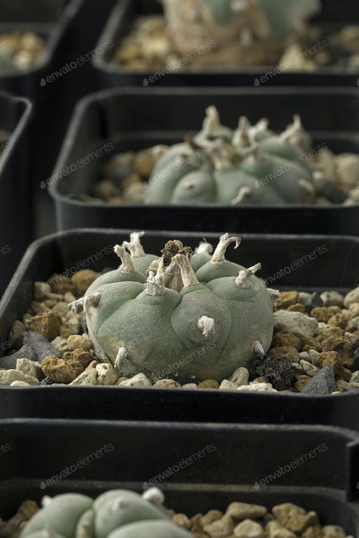Grüner Peyote Kaktus in Töpfen Nahaufnahme