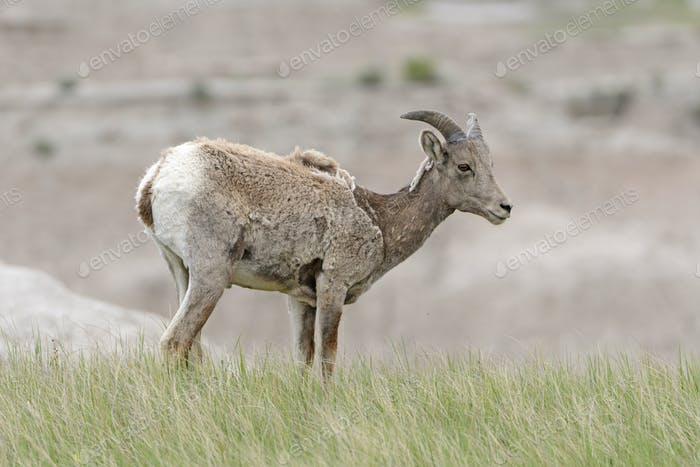 Big Horn Sheep on the Prairie