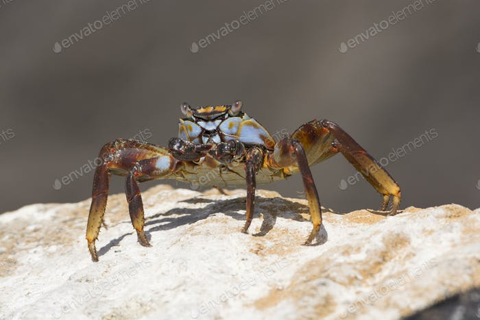 Sally Lightfoot Crab in the Galapagos