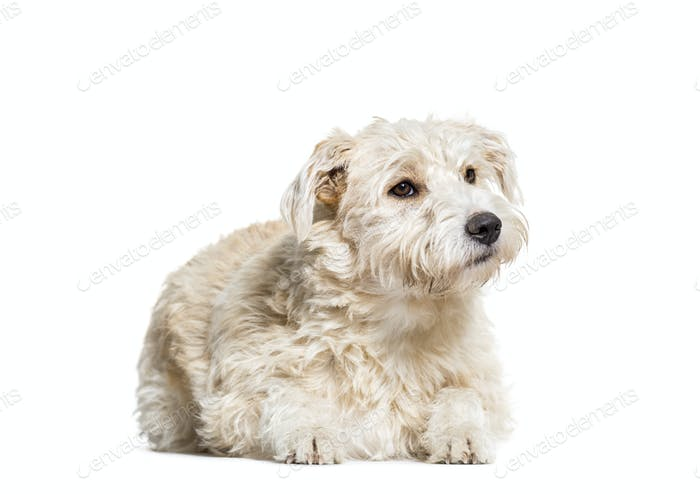 Mixed-breed dog lying, cut out