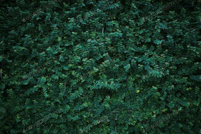 Grüne Kriechpflanze an der Wand