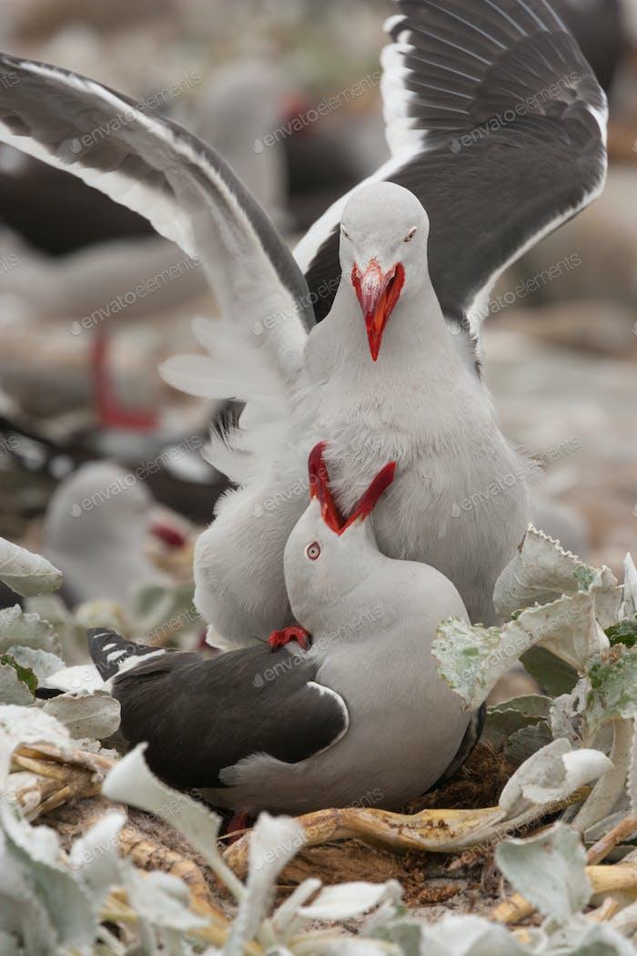 Dolphin gulls, Falkland Islands